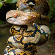 Python, Reticulated (V2)