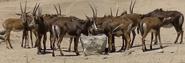 San Diego Zoo Safari Park Sable Antelope