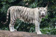 White Tiger (Species)