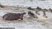 Wildebeests and Hippopotamus