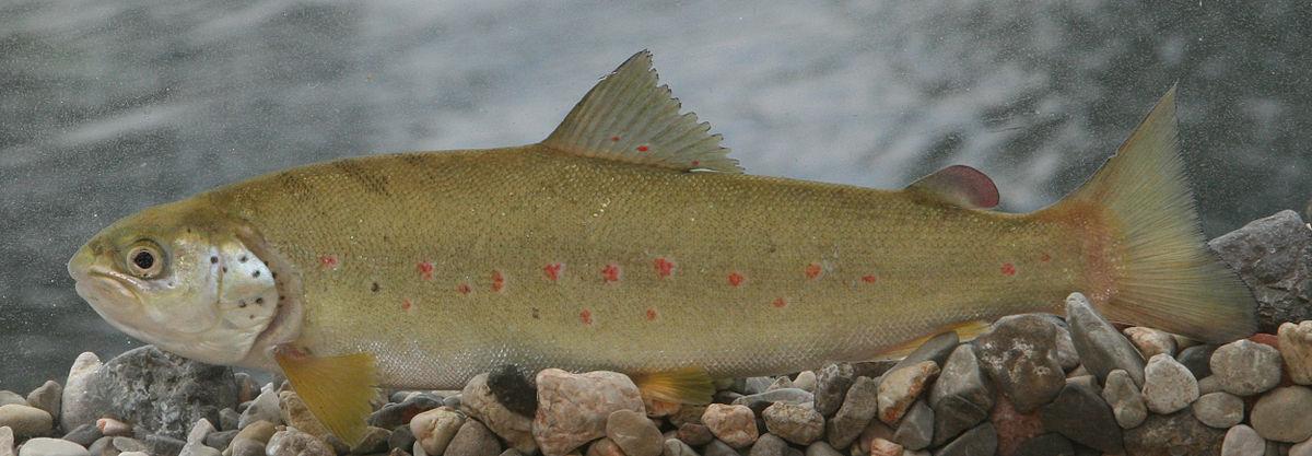 Adriatic Salmon