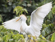 Another White Western Cattle Egret