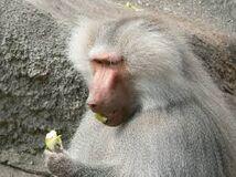Baboon, Hamadryas.jpg