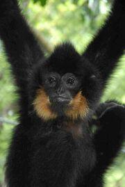 Buff-Cheeked Gibbon.jpg