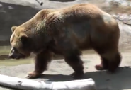 Cleveland Metroparks Zoo Grizzly Bear V2