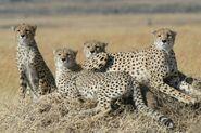 Coalition of Tanzanian cheetahs
