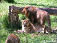 Congo lion and lioness