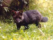Darwin's Fox.jpg