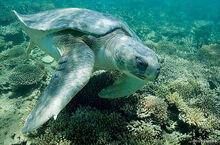 Flatback-turtle-Doug-Perrine-570x375.jpg