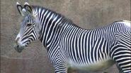 LA Zoo Zebra