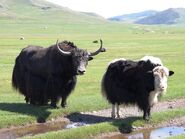 Male and Female Wild Yaks