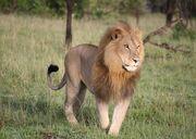 Masai lion (Panthera leo nubica).jpg