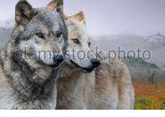 Pair of Northwestern Wolves