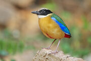 Pitta, Blue-Winged.jpg