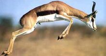 Saut de gazelle Springbok.jpg