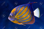 12952509-bluering-angelfish-pomacanthus-annularis-on-natural-blue-background.jpg