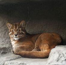 Asian golden cat 1.jpg