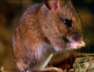BEBDNA Deer Mouse