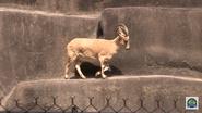 Baton Rouge Zoo Ibex