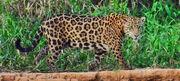 Brazilian Jaguar.jpg