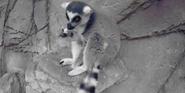 Canberra Zoo Lemur