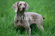 Domestic Dog (Female)