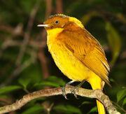 Golden Bowerbird.jpg