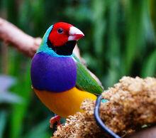 Gouldian-Finch-Pictures.jpg