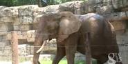 Greenville Zoo Elephant