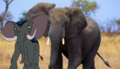 Jembo and Real African Bush Elephant