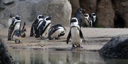 Lincoln Park Zoo Penguins