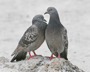 Pair of Rock Doves