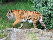 Panthera tigris corbetti 01.jpg