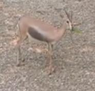 Saint Louis Zoo Gazelle