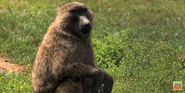 Six Flags Safari Baboon