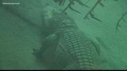 Virginia Zoo Siamese Croc