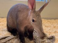 Aardvark (As in a Species in Real Life)
