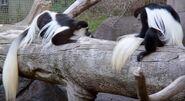 Colobus oregon zoo