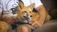 Domesticated-Fox