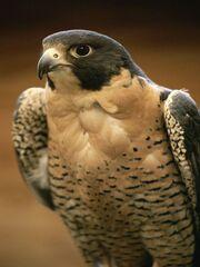 Falcon (Peregrine).jpg