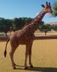 Giraffe, Reticulated (Planet Zoo)