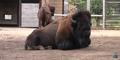 Henry Vilas Zoo Bison