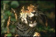 Jaguar 020