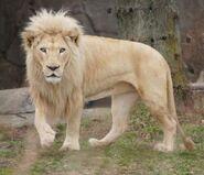 Lion, white