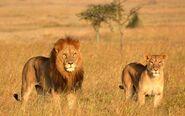 Masai Lion and Lioness (V2)