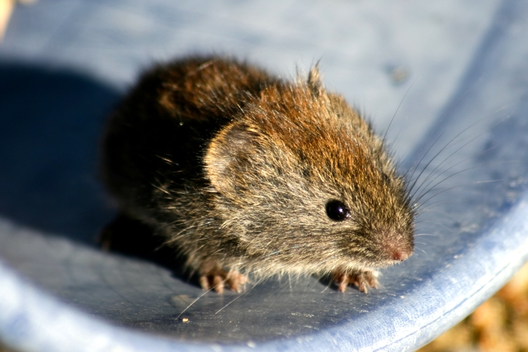 Grey Red-Backed Vole