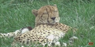 Pittsburgh Zoo Cheetah