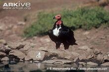 Red-headed-vulture-at-waters-edge.jpg
