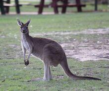 Western-grey-kangaroo.jpg