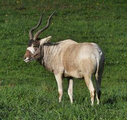 Addax (Addax nasomaculatus).jpg